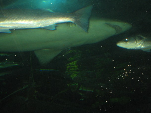 100702 36 North Queensferry, dykning, haj