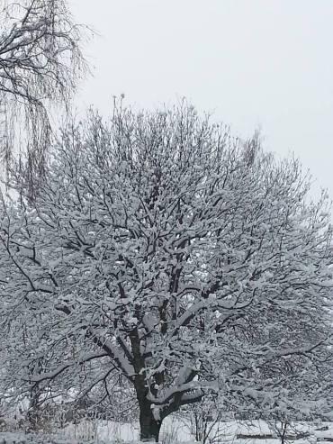 20160320 gräddtårteträd