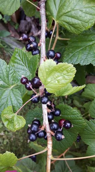 svartvinbär